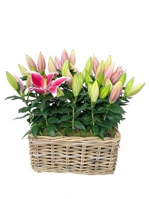 cesta rectangular de lilium rosa