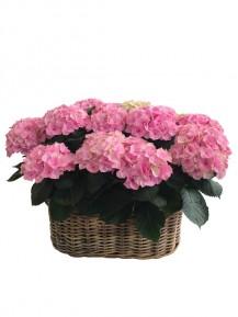Cestas XXL de hortensias rosas