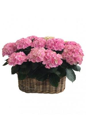 1 Cestas XXL de hortensias rosas