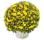 1 Crisantemo amarillo en cesta