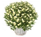 1 Crisantemo blanco en cesta