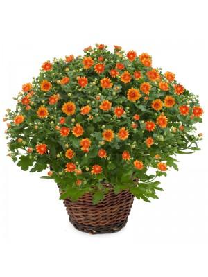 1 Crisantemo naranja en cesta