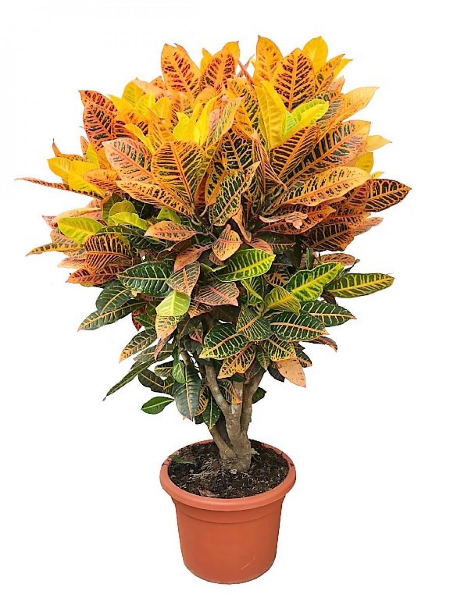 Croton Petra XXL (DISPONIBLE SOLO PARA MADRID)