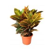 Croton M30