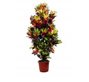 Croton en XXL (DISPONIBLE SOLO PARA MADRID)