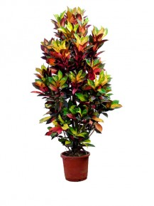 Croton en XXL(DISPONIBLE SOLO PARA MADRID)