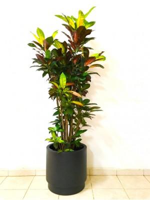 Croton en hidrojardinera(DISPONIBLE SOLO PARA MADRID)