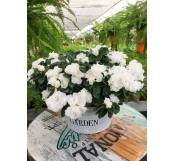 Cesta de azaleas blancas