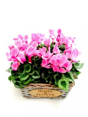 cesta de 4 cyclamenes rosas