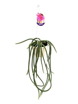 disocactus-flagelliformis