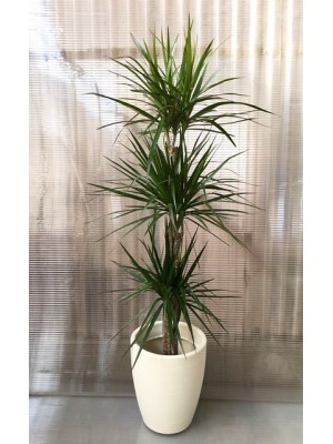 Dracena Marginata en maceta decorativa (DISPONIBLE SOLO PARA MADRID)