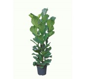 Ficus Lyrata Abusto(DISPONIBLE SOLO PARA MADRID)