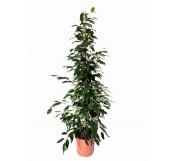 Ficus benjamina 120CM