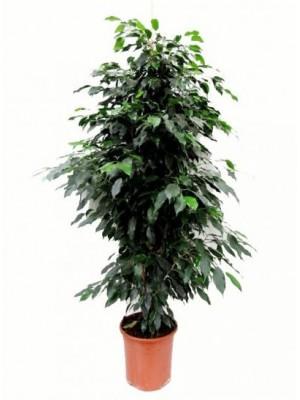 Ficus Benjamina 1.70-1.80M