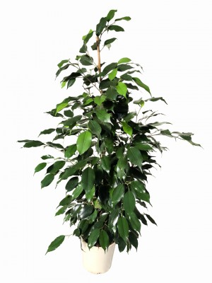 Ficus Benjamina 80-100CM