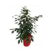 1 Ficus Benjamina 80-100CM Celofan
