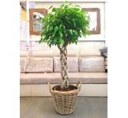 Ficus trenzado en cesta de mimbre(DISPONIBLE SOLO PARA MADRID)