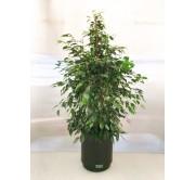 Ficus benjamina en hidrojardinera (DISPONIBLE SOLO PARA MADRID)