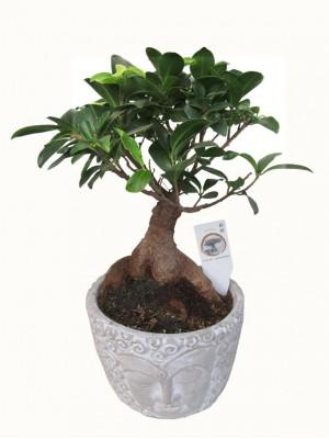 Bonsai de Ficus Ginseng mediano