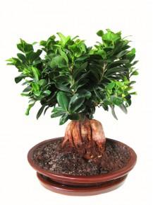 Bonsai de Ficus Ginseng
