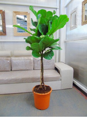 Ficus Lyrata Arbol(DISPONIBLE SOLO PARA MADRID)