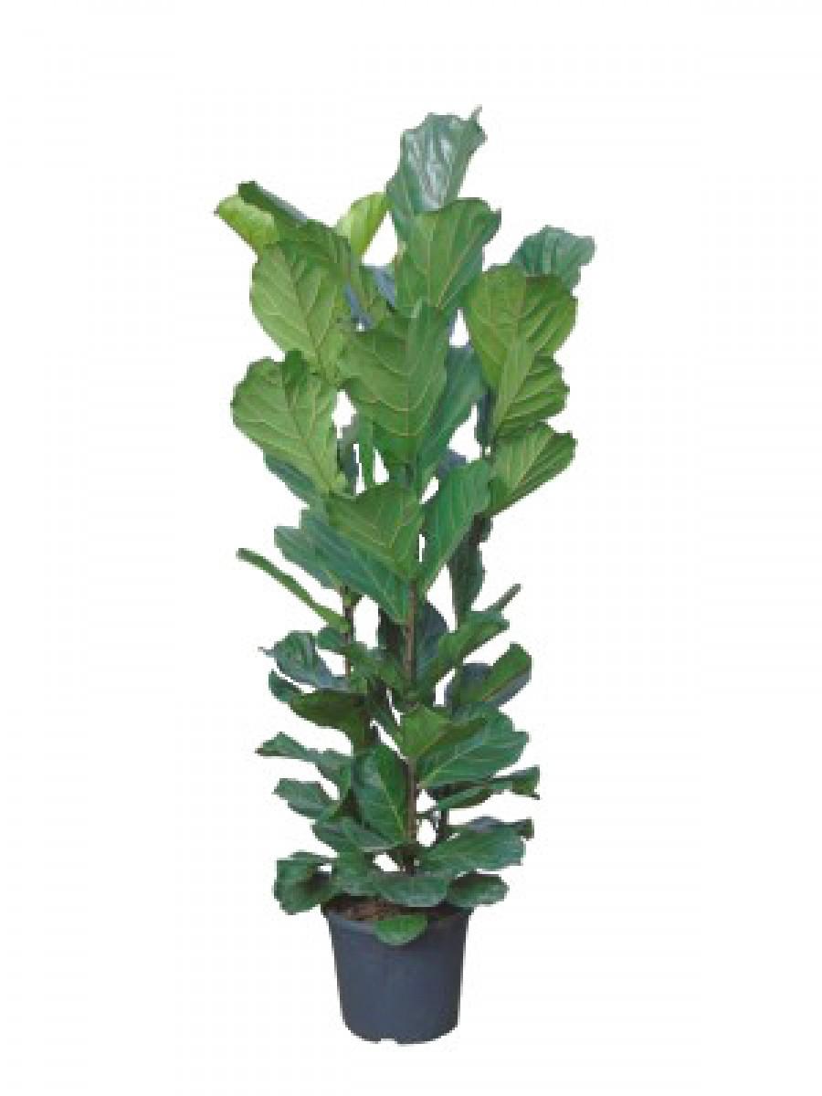 Ficus Lyrata Abusto (DISPONIBLE SOLO PARA MADRID)