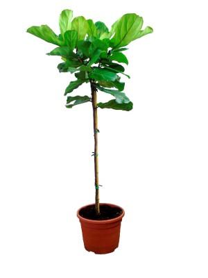 Ficus Lyrata Arbol