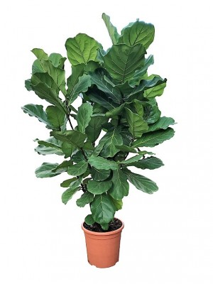 Ficus Lyrata Arbol (DISPONIBLE SOLO PARA MADRID)