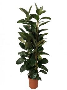Ficus robusta M30(DISPONIBLE SOLO PARA MADRID)