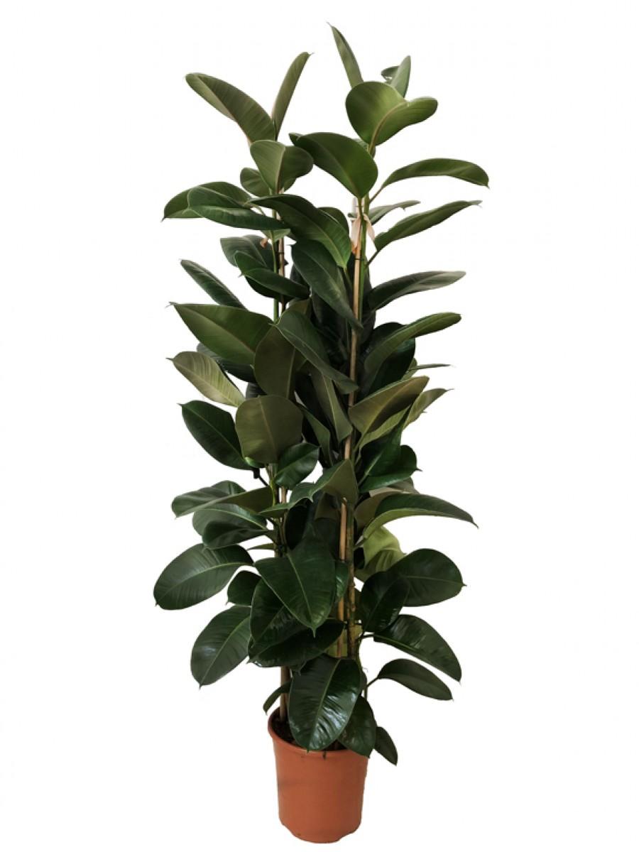 Ficus robusta M30 (DISPONIBLE SOLO PARA MADRID)