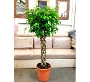 Ficus benjamina trenzado (DISPONIBLE SOLO PARA MADRID)