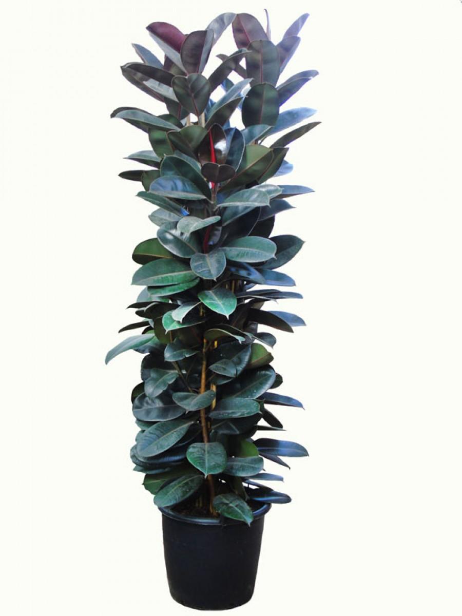 Ficus robusta XXL
