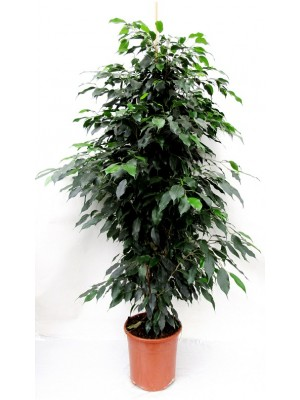 Ficus benjamina (DISPONIBLE SOLO PARA MADRID)