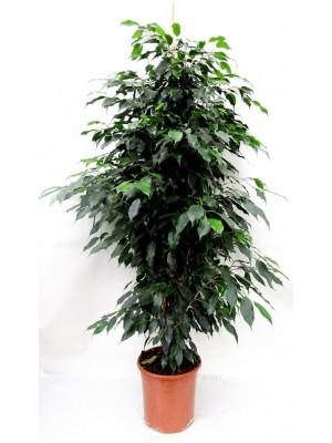 Ficus benjamina (DISPONIBLE SOLO PARA MADRID)