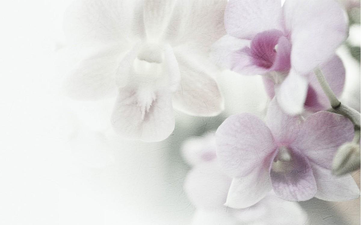 Admiración, respeto y pureza al regalar unas Orquídeas Blancas