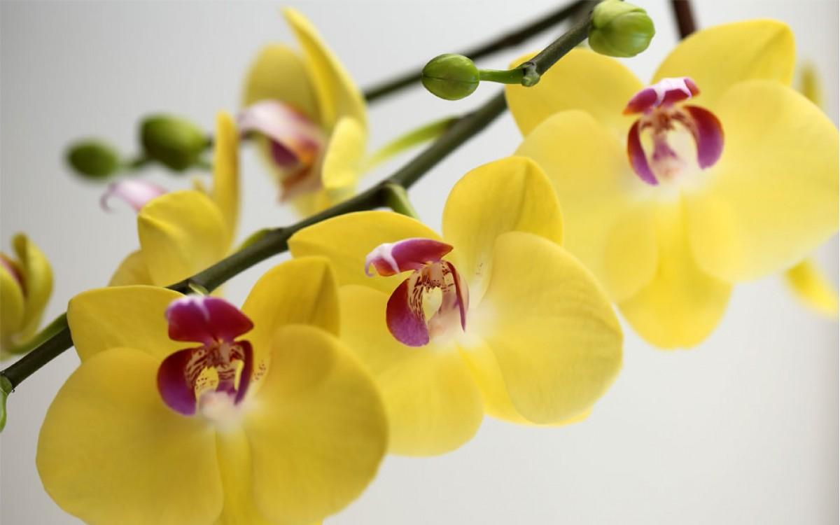El erotismo y la pasión, el significado de Regalar Orquídeas Amarillas