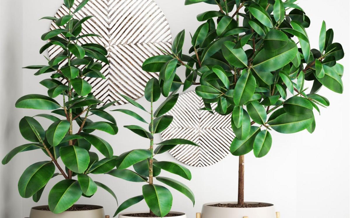 Ficus Benjamina ideal para el hogar o Oficina