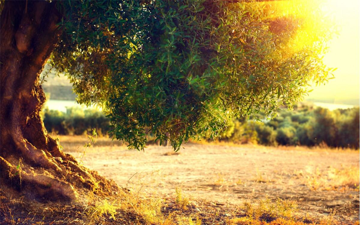 Olivo, el árbol presente en la gastronomía Mundial