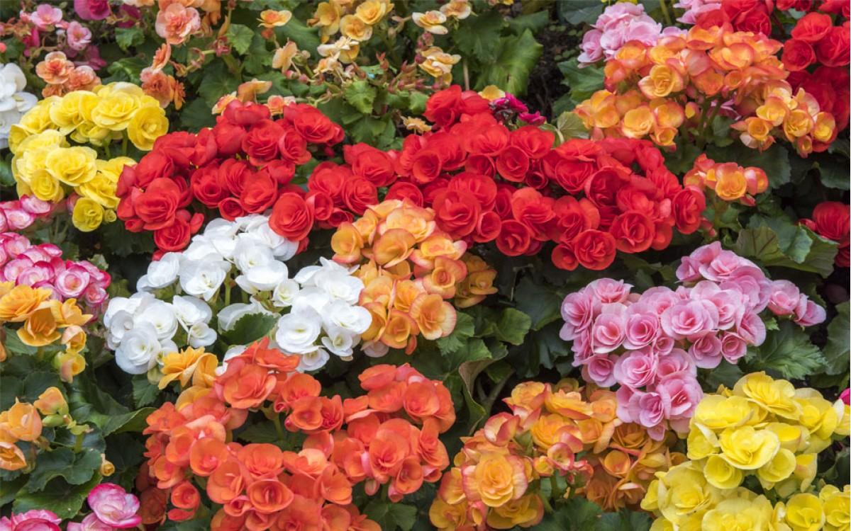 Regalar Begonias para expresar cordialidad y gentileza