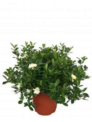 Gardenia XXL