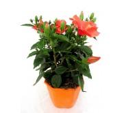 Hibiscus naranja