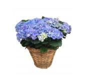 Cestas grande de hortensias azules