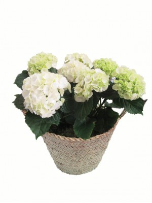 Cesta de una hortensia blancas