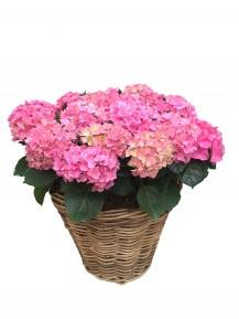 Cestas grande de hortensias rosas