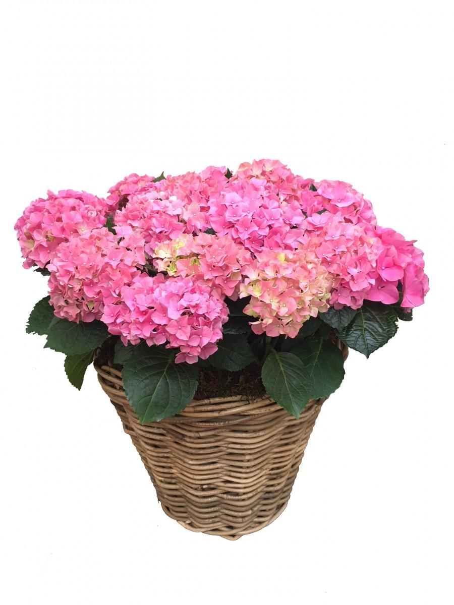 Cesta grande de hortensias rosas