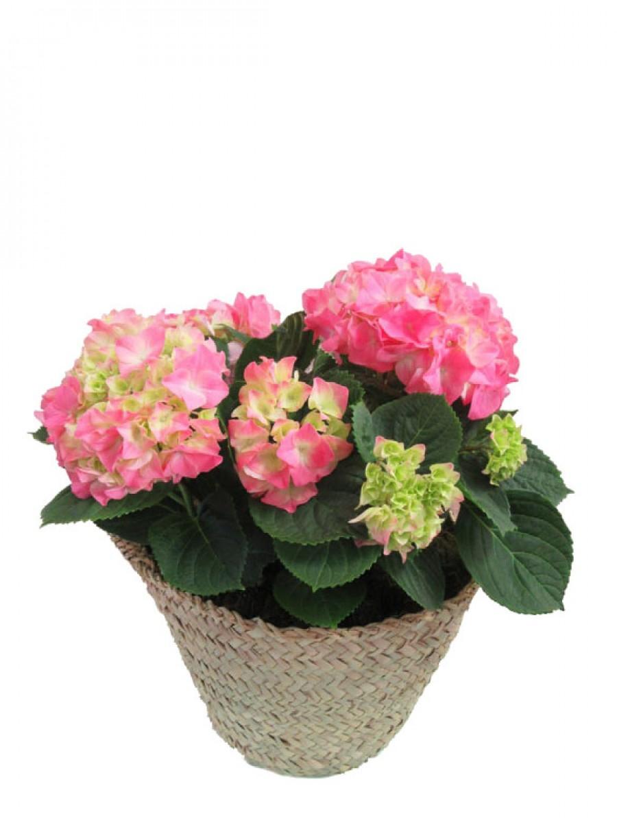 Cesta de una hortensia rosa