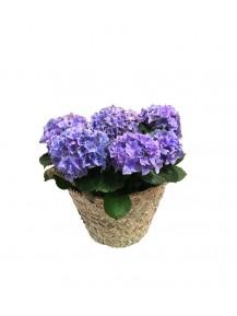 Cestas de una  hortensia azul
