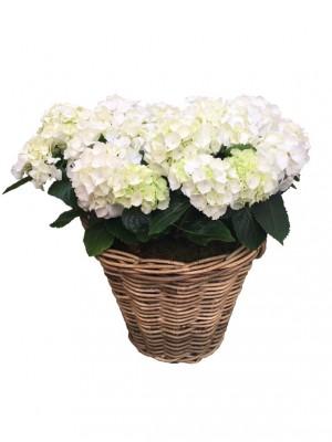Cestas grande de hortensias blancas