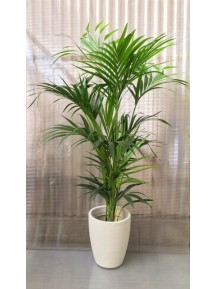 KENTIA MACETA DECORATIVA (DISPONIBLE SOLO PARA MADRID)
