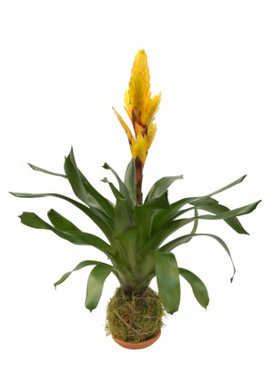 Vriesia amarilla en Kokedama